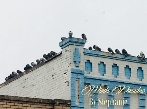 neighbor pigeons